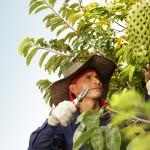 Gravioala  Fruit on Tree